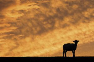 49_Wandering Sheep